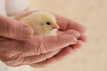 Cute Baby Chicken In The Hands