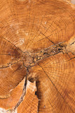 Stump texture on the cut, beautiful wood texture rustic