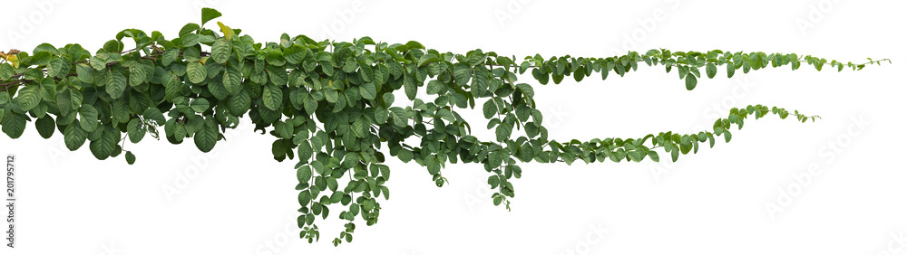 Fototapety, obrazy: vine plant jungle, climbing isolated on white background. Clipping path