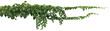 Leinwandbild Motiv vine plant jungle, climbing isolated on white background. Clipping path