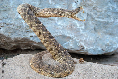 attacking coiled rattle snake in sand with rock background