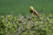 Yellowhammer (Emberiza Citrine...