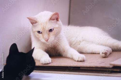 Fotografie, Obraz  Proud begie cat lying and looking at black kitten