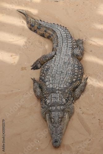 Foto op Canvas Krokodil Krokodil