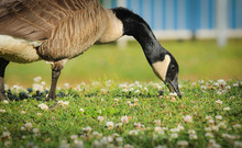 Portrait Of Canada Goose (Bran...
