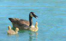 Baby Canada Goose Gosling With...
