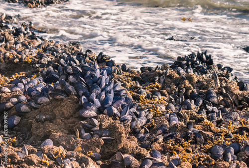 blue mussels colony living on rocky beach