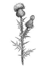 Thistle Flower Illustration, D...
