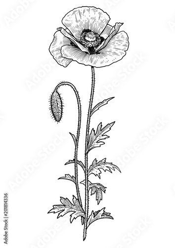 Poppy flower illustration drawing engraving ink line art vector poppy flower illustration drawing engraving ink line art vector mightylinksfo