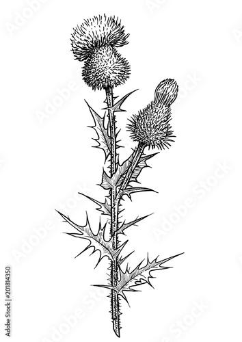 Fotografia, Obraz Thistle flower illustration, drawing, engraving, ink, line art, vector
