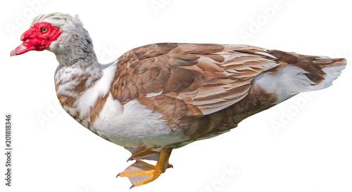 big musk ducks on white