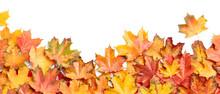 Autumn Maple Leaves Isolated O...
