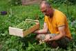 Leinwanddruck Bild - jardinage - récolte de haricots au potager