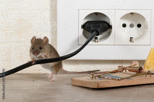 Closeup mouse stands behind chewed wire  near mousetrap and electrical outlet in an apartment kitchen. Inside high-rise buildings. Fight with mice in the apartment. Extermination.