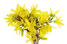 Spring April Forsythia Bush Br...