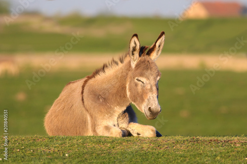Laying wild donkey in a Field