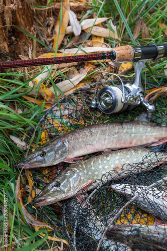 Close up view of freshwater pike fish lies on landing net with fishery catch in it and fishing rod with reel..