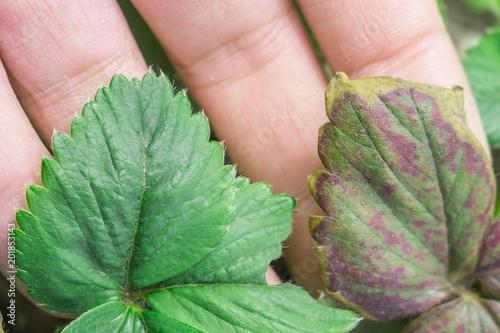 Fotografie, Obraz  strawberry leaves infected