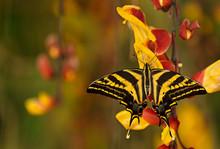 Beautiful Butterfly Papilio Pi...