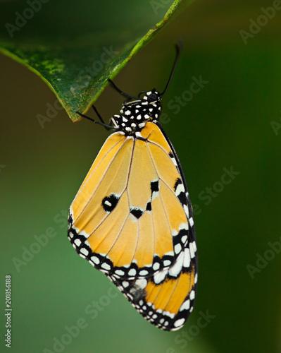 Fotografie, Obraz  Beautiful Plain Tiger butterfly (Danaus chrysippus) perching on flower