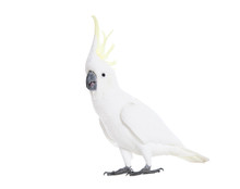A Cockatoo Showing Its Yellow ...