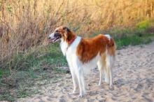 Russian Wolfhound Dog, Borzoi On The Sand, Sighthound, Russkaya Psovaya Borzaya, Psovi. Killer Of Wolves. One Of The Fastest Hunting Dogs In The World. Springtime, Outdoors, Close Up Portrait.