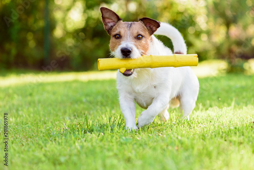 Pet dog with toy walking at back yard lawn at sunny summer day © alexei_tm