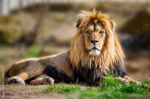 Fotografie, Obraz  Afrik Urlaub in der savanne Loewe mann in der Sonne 2018
