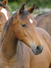 Head Shot Of A Bay Yearling