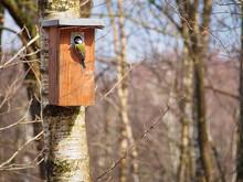 Great Tit (Parus Major) On Nest Box
