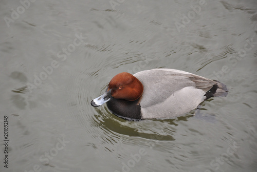Fotografie, Obraz  Duck on water close up