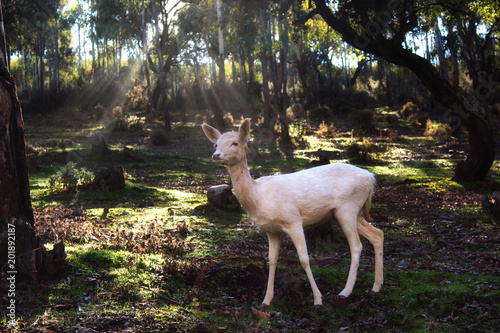 Fotografie, Obraz  White fallow deer standing in a forest with sunlight piercing through the trees