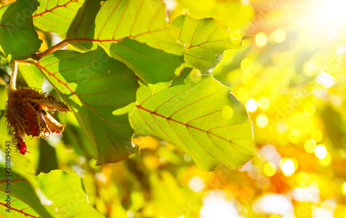 Photo Beech in the sunshine, colorful autumn