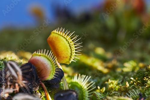 Fotografia Venus flytrap carnivorous plant