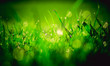 soczysta zielona trawa pokryta rosą