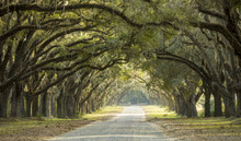 Dramatic Canopy Of Oaks Over D...
