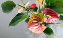 Bright Anthurium Flowers Close Up Portrait