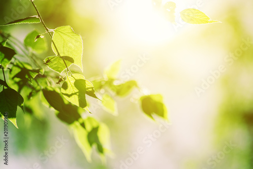 Fotomural Sunlight in white birch treetop