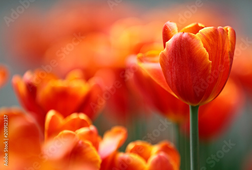 Photo  Beautiful red and orange tulips blooming