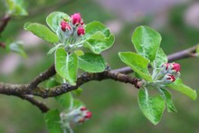 The Apple Begins To Blossom