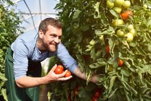Glücklicher Bauer Im Gewächshaus Mit Reifen Roten Tomaten Bei Der Ernte // Happy Farmer In A Greenhouse With Ripe Red Tomatoes At Harvest Time