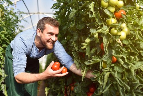 Foto Glücklicher Bauer im Gewächshaus mit reifen roten Tomaten bei der Ernte // happy