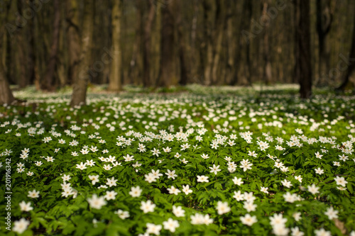 Photo Anemone nemorosa flower in the forest in the sunny day
