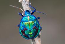 Blue Jewel Bug Larva On Stick