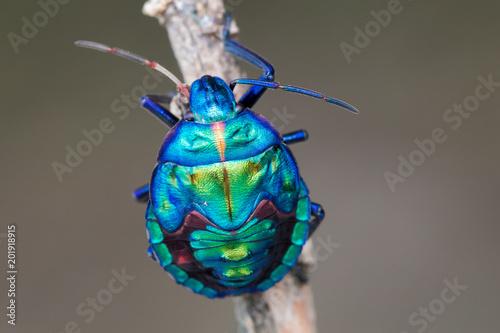 Obraz na płótnie Blue jewel bug larva on stick