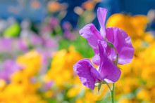 Purple Sweet Pea  Flower Photographed With A Specialty Lens To Get Shallow Depth Of Field And Dreamy Background.