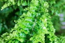 Leaves Of The Fern Nephrolepis Exaltata