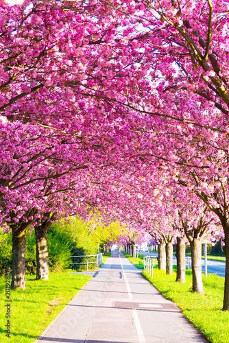Obrazy różowe  kirschblute-sakura-mit-radweg
