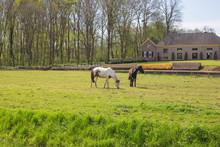 Two Horses In A Green Field In...