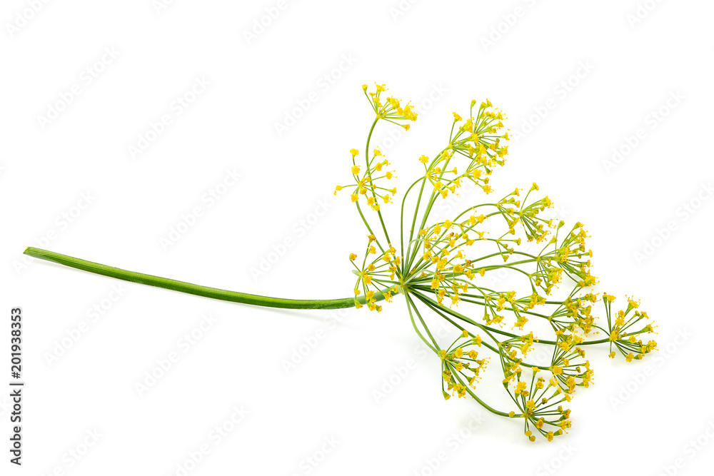 Wild fennel flower isolated.